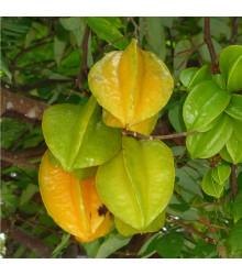 Karambola Bilimbi - Okurkový strom - Averrhoa carambola - osivo karamboly - 5 ks