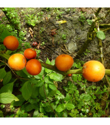 Solanum sessiliflorum - prodej semen - 10 Ks