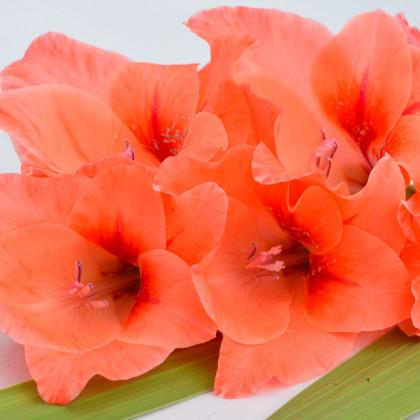 Mečík oranžový - Gladiolus - cibule mečíků - 3 ks