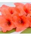 Gladiol oranžový - prodej jarních cibulovin - 3 ks