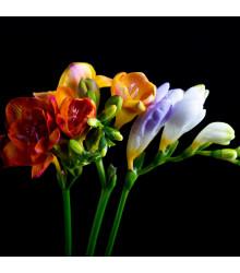 Frézie jednoduchá směs barev - cibulky frézií - 3 ks