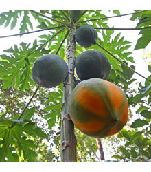 Papája červená - Carica papaya - osivo papáji - 5 ks