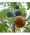 Papája- semena- 5 ks
