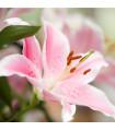 Lilie Vivaldi - růžová - holandské cibule Lilie - 2 ks