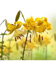 Lilie Citronella- cibule Lilie- 1 ks