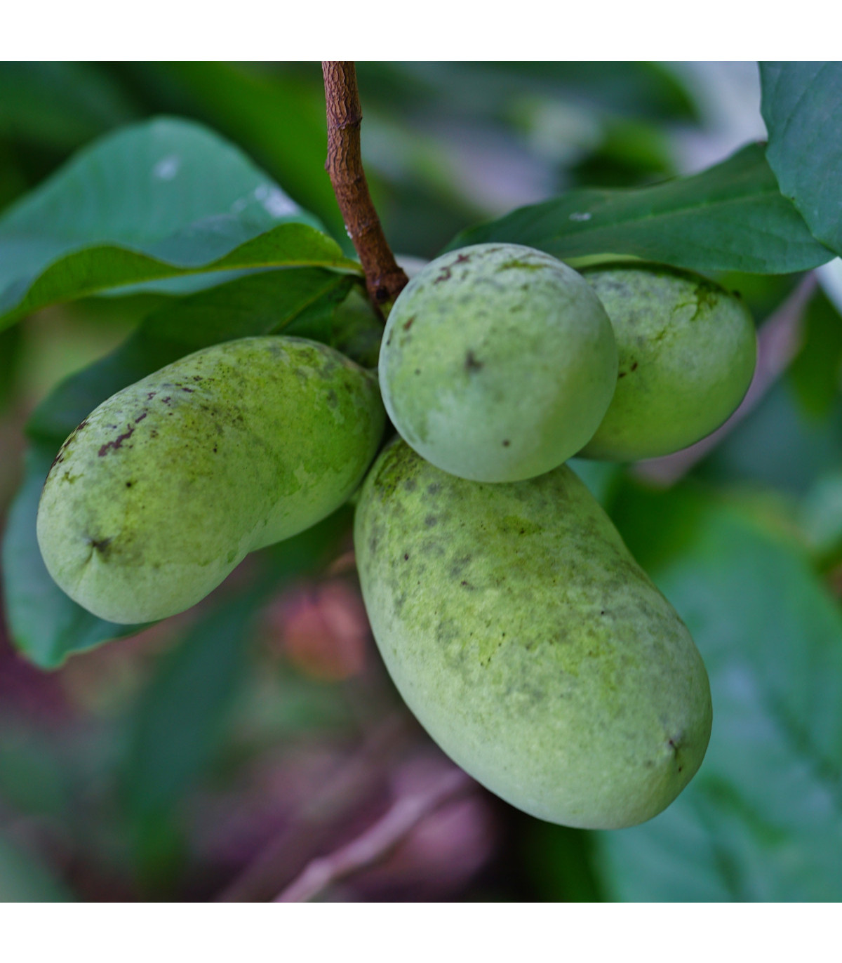 Paw Paw - Moďoul trojlaločný - Indiánský banán - Asimina triloba - osivo paw paw - 4 ks