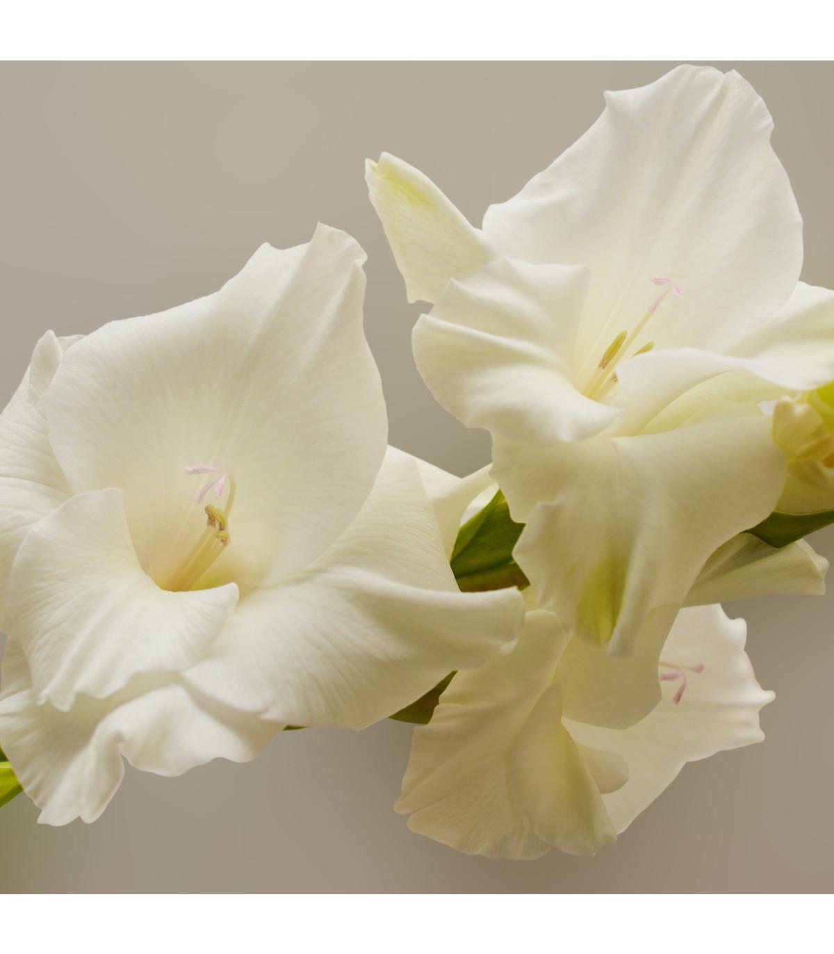Gladiol White Prosperity - Gladiolus - hlízy mečíků - 3 ks