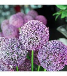 Česnek Globemaster - Allium - cibule česneku - 1 ks