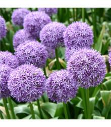 Česnek Gladiator - Allium giganteum - holandské cibule česneku - 1 ks