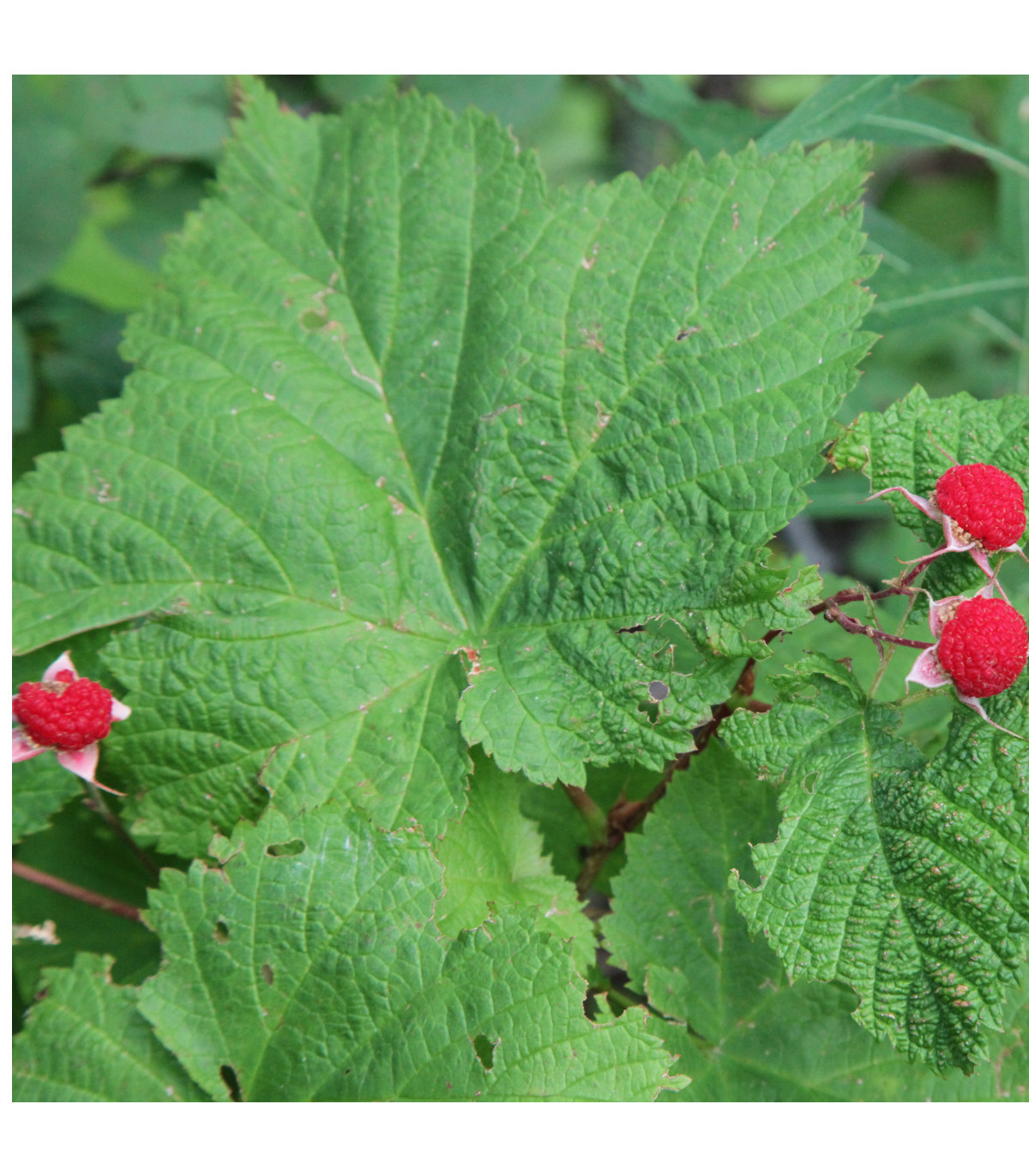Ostružiník nutkajský- Rubus Parviflorus- semena Ostružníku- 5 ks