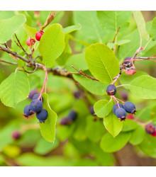 More about Rozinkový strom - Amelanchier alnifolia - semena - 7 ks