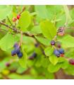 Rozinkový strom - Amelanchier alnifolia - semena - 7 ks
