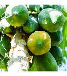 Papaya Mamba Nunba - Carica Papaya - semena papáji - 4 ks