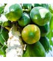 Papaya Sunrise - Carica Papaya - semena papáji - 4 ks
