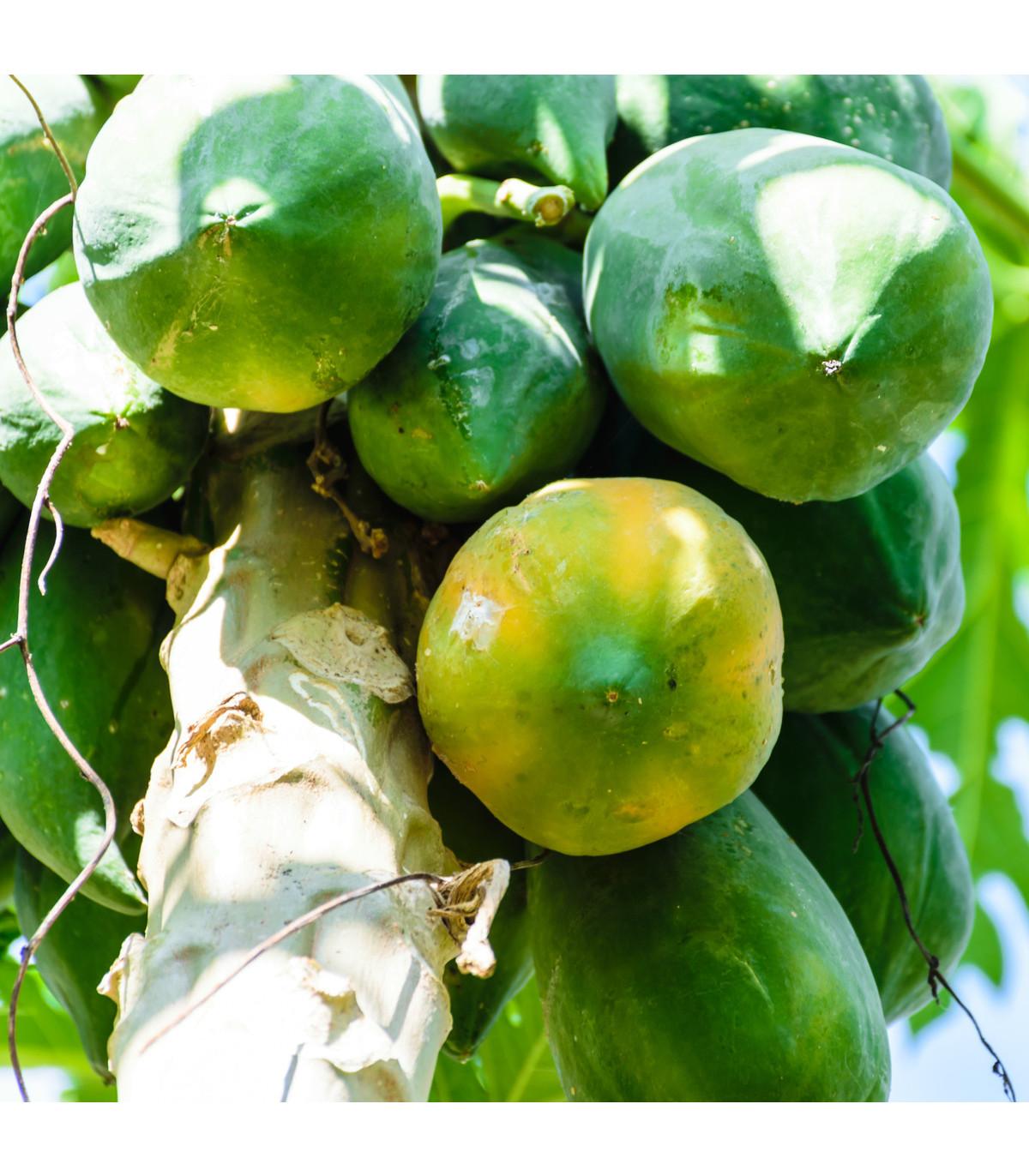 Papaya Mamba Nunba - Carica Papaya - osivo papáji - 4 ks