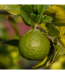 Kafrová limetka - Citrus hystrix - 3 ks