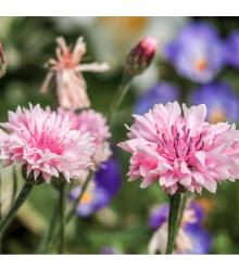 Chrpa luční růžová - Centaurea cyanus - semena chrpy - 65 ks
