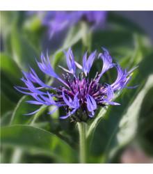 Chrpa luční modrá - Centaurea jaceae - semena Chrpy - 200 ks