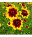 Krásnoočko dvoubarevné - vysoké - semena trvalek - 50 ks
