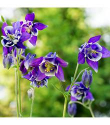 Orlíček obecný Blue Star - modrý - Aquilegia vulgaris - semena trvalek - 30 Ks