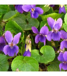 Violka vonná Královna Šarlot - Viola odorata - osivo violky - 50 ks