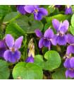 Violka vonná Královna Šarlot - Viola odorata - osivo trvalek - 0,2 gr