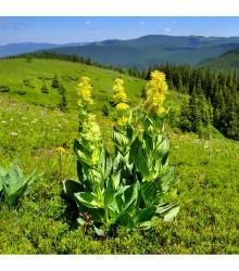 Hořec žlutý - prodej semen hořce - rostlina Gentiana lutea - 8 ks