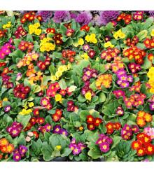 Prvosenka bezlodyžná směs barev - Primula acaulis - osivo prvosenky - 50 ks