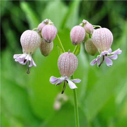 Silenka nadmutá - Silene vulgaris - osivo silenky - 0,5 g