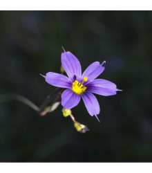Badil úzkolistý - Sisyrinchium angustifolium - semena badilu - 10 ks