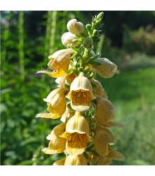 Náprstník žlutý - Digitalis lutea - semena - 60 ks