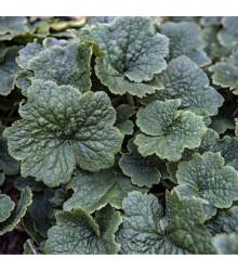 Mitrovka velkokvětá - Tellima grandiflora - prodej semen - 0,02 g
