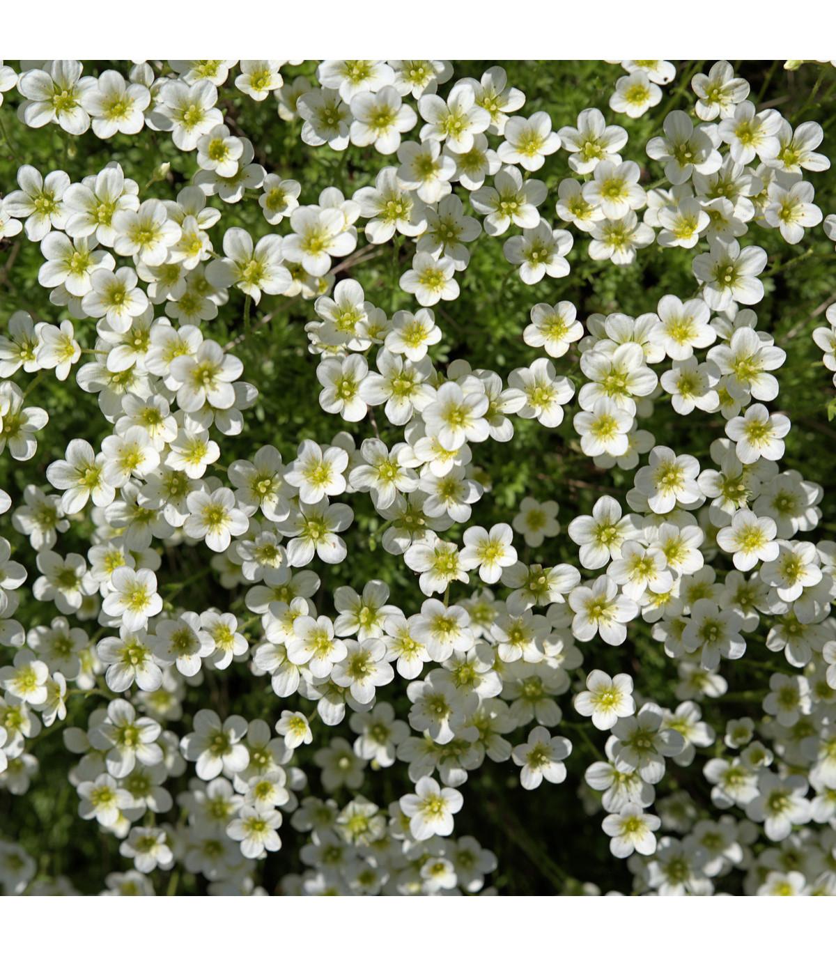 Úrazník šídlovitý - Sagina subulata - prodej semen do skalky - 0,01 g