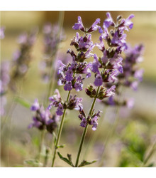 Šalvěj sporýšová - Salvia verbenaca - semena šalvěje - 50 ks