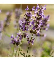 More about Šalvěj sporýšová - Salvia verbenaca - semena šalvěje - 50 ks