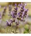 Šalvěj sporýšová - Salvia verbenaca - semena - 12 ks
