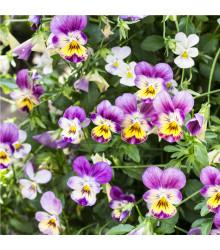Violka rohatá Miss Helen Mount - Viola cornuta - osivo trvalek - 100 ks