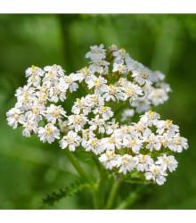 Řebříček obecný Yarrow - Achillea millefolium - prodej semen trvalek - 0,1 g