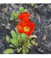 Mák nahoprutý Gnome - Papaver nudicaule - semena máku - 0,1 gr