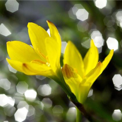 Badil žlutý - Sisyrinchium californicum - osivo badilu - 10 ks