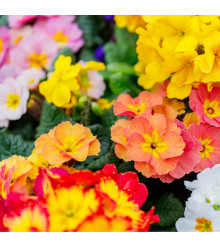 Prvosenka velkokvětá směs barev - Primula elatior - semena prvosenky - 60 ks
