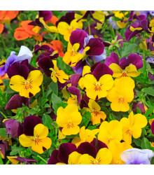 Violka rohatá směs barev - Viola cornuta - osivo violky - 300 ks
