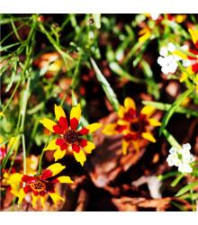 More about Krásnoočko dvoubarevné - nízké - semena trvalek - 50 ks