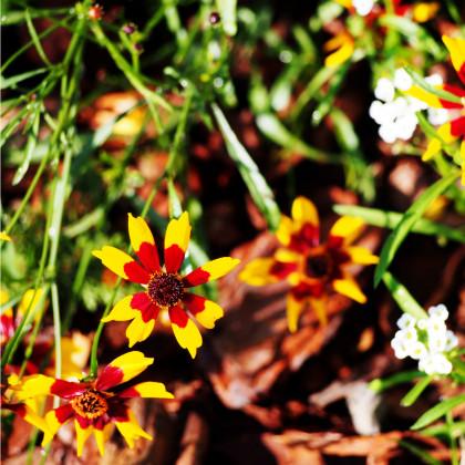 Krásnoočko dvoubarevné nízké - Coreopsis tinctoria - osivo krásnoočka - 50 ks