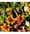 Krásnoočko dvoubarevné - nízké - semena trvalek - 50 ks