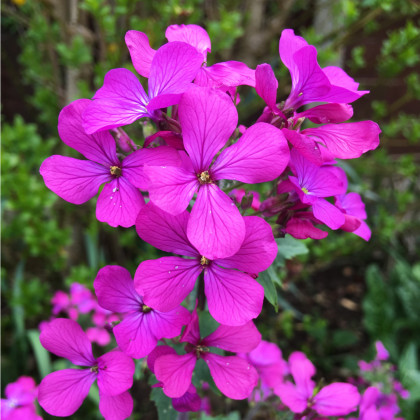 Měsíčnice roční Honesty - směs barev -  Lunaria annua - prodej semínek dvouletek - 1 gr