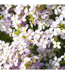 Huseník růžový - Arabis arendsii - semena trvalek - 0,03 gr