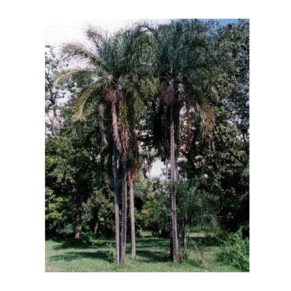 Palma madagaskarská- Dypsis madagascariensis- semena palem- 3 ks