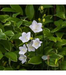 Zvonek karpatský bílý - Campanula carpatica - osiva trvalek - 400 ks