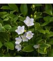Zvonek karpatský bílý - Campanula carpatica - osiva trvalek - 25 ks